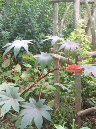 090106-sorin-garden-2nd-level-ricinus-persicaria-and-arbor-resized.jpg