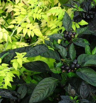 'Black Pearl' pepper with 'Goldenvale' ghost bramble
