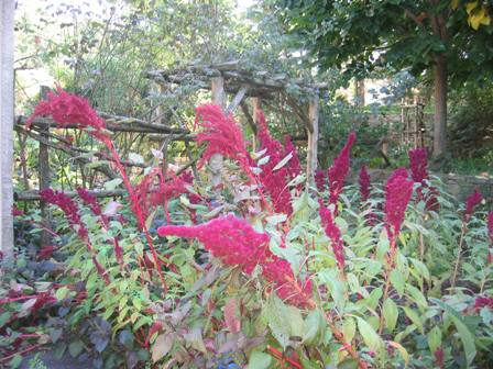 fs-garden-amaranth-in-cutting-garden-resized.JPG