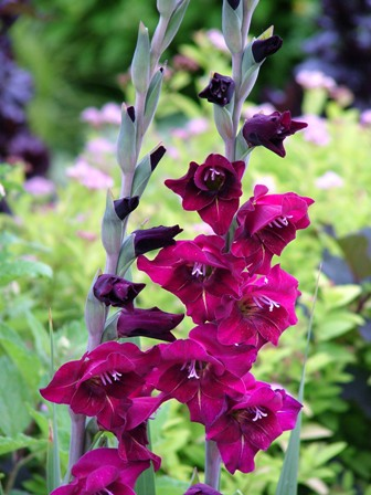 'Flevo Party' gladiolus