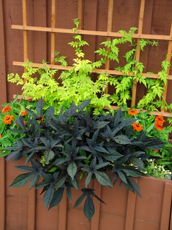 'Sweet Caroline Purple' sweet potato vine and Fiona Sunrise jasmine