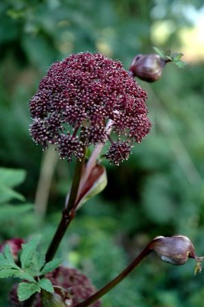 angelica-gigas-resized.jpg