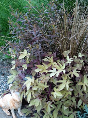 Sweet Caroline Bronze sweet potato vine with Carex buchananii and Haloragis erecta Wellington Bronze