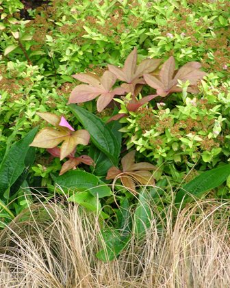 Toffee Twist sedge with golden spirea, Sweet Caroline Bronze sweet potato vine, and echinacea foliage