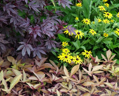 'Sweet Caroline Bronze' sweet potato vine with Hibiscus acetosella 'Maple Sugar' and Rudbeckia fulgida var. fulgida