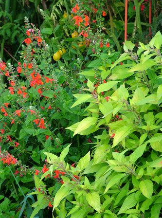 Salvia elegans 'Golden Delicious' and Salvia coccinea 'Lady in Red'