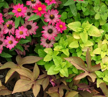 'Sweet Caroline Bronze' sweet potato vine with 'Profusion Cherry' zinnia and golden lemon balm
