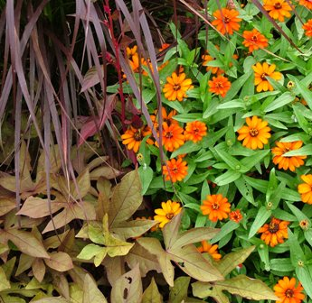Sweet Caroline Bronze sweet potato vine with Profusion Orange zinnia and purple fountain grass