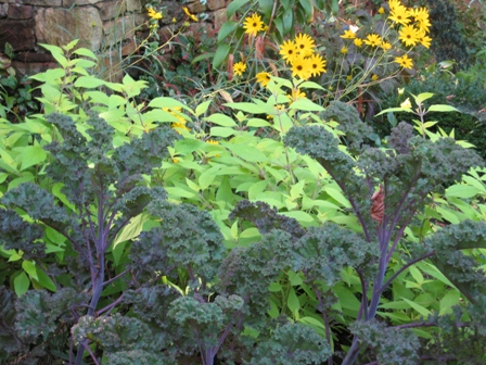Kale and Salvia in cutting garden