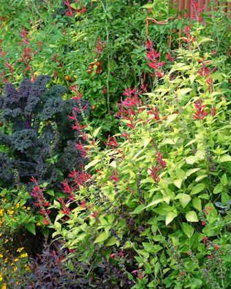 Salvia elegans 'Golden Delicious' with 'Redbor' kale in mid-October 07