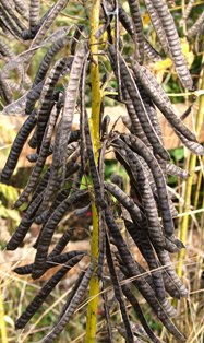 Cassia marylandica seedpods Nov 3 07