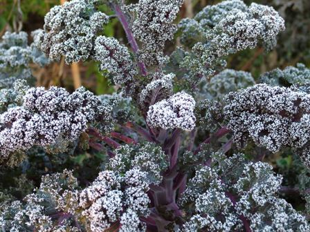 Frost on 'Redbor' kale Nov 8 07