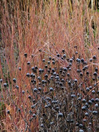 Rudbeckia fulgida var. fulgida against Schizachyrium scoparium The Blues Nov 8 07