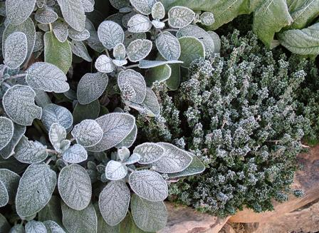 Frost on Salvia officinalis 'Berggarten' and Thymus x citriodorus Nov 8 07