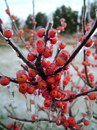 Ilex Winter Red Dec 14 07
