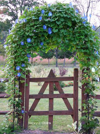 Ipomoea 'Clarke's Heavenly Blue' on side arbor Sept 9 07