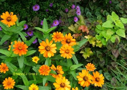 Zinnia 'Profusion Orange' Aster 'Wood's Purple' Melissa 'All Gold' mid Sept 06