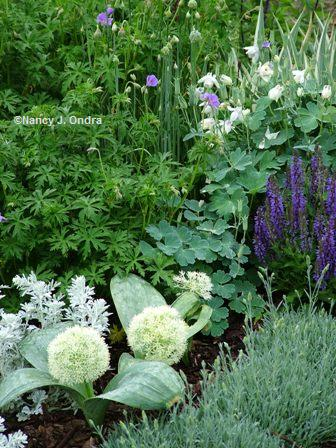Allium karataviense 'Ivory Queen' with Aquilegia Dianthus Geranium and Salvia late May 07