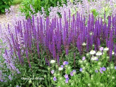 'Cramer's Plum' nigella with Nepeta and 'Caradonna' salvia June 1 06