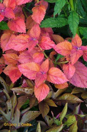 Coleus 'Sedona' with Lobelia cardinalis and Ipomoea batatas 'Sweet Caroline Bronze' Aug 9 07