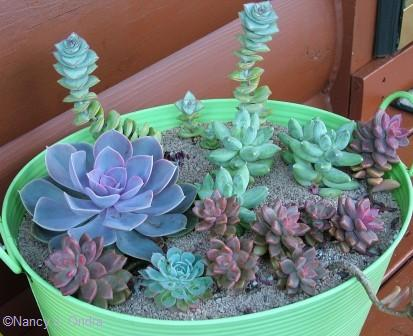 Echeverias and other succulents Sept 21 07
