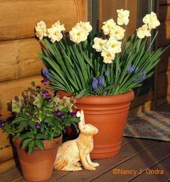 Narcissus and Muscari with Helleborus 'Ivory Prince' and Viola May 5 06