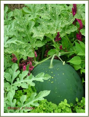 Watermelon 'Moon and Stars' early Aug 05