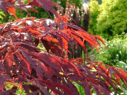 Acer palmatum foliage May 18 08