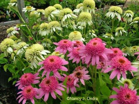 If you\'re a fan of \'Pink Double Delight\' and \'Coconut Lime\' echinaceas, you\'re probably a gaudy gardener!
