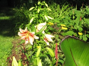 Red Hot Lily next to banana plant and persicaria