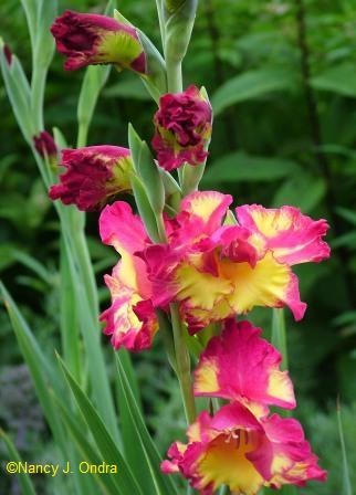It\'s big, it\'s ruffled, it\'s gaudy; it\'s \'Far West\' gladiolus.