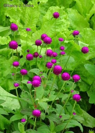 Gorgeous globe amaranth (Gomphrena globosa) is the essence of gaudiness.