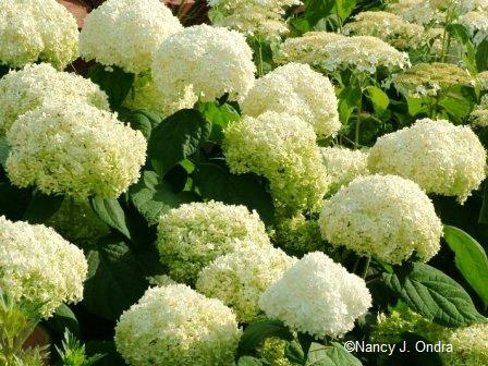 The gigantic flower heads of hills-of-snow hydrangea (Hydrangea arborescens) definitely fit into a gaudy garden.