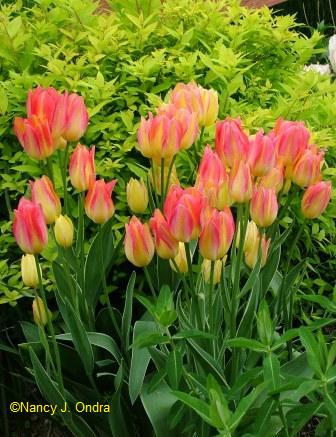 Tulips, such as the color-changing \'Antoinette\', are a must-have for gaudy spring gardens.