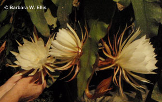 Cereus blooms have a sweet, light scent that wafts on the night air.