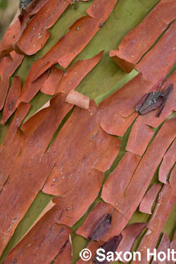 pattern of peeling madrone bark