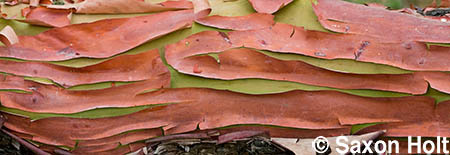 Sinews of madrone bark