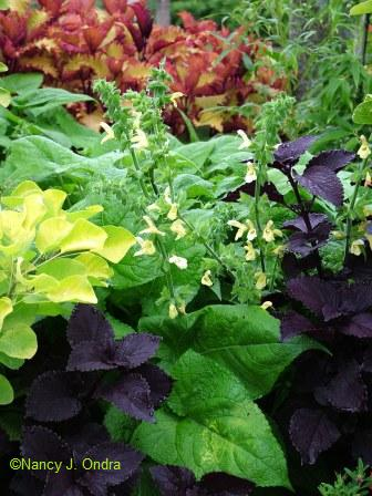 Salvia koyame with Coleus 'Dark Star' and Cotinus coggygria 'Ancot' (Golden Spirit)