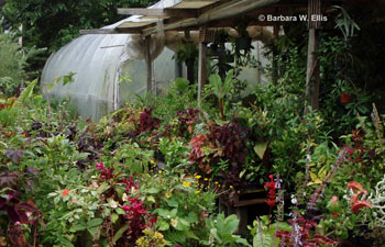Coleus and other tropicals crowd benches toward the back of the nursery.