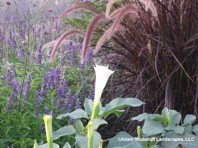 Datura innoxia (foreground), Salvia farinacea 'Evolution', and Pennisetum setaceum 'Red Riding Hood'