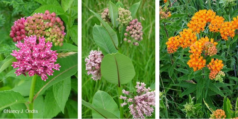 Asclepias purpurascens (CC 6), A. syriacus (CC 1), and A. tuberosa (CC 6)