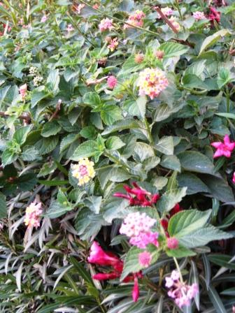 multi-colored-lantana-resized