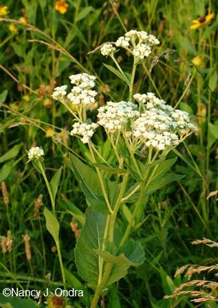 Parthenium integrifolium (CC 10)