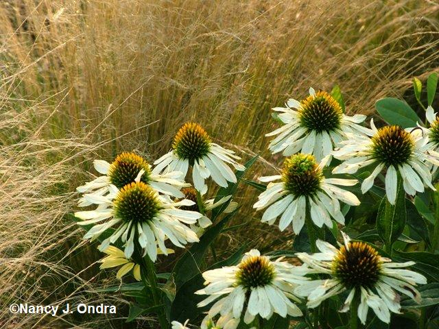 stipa-tenuissima-and-echinacea-harvest-moon-july-30-08