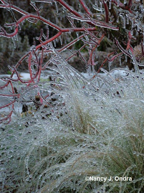 stipa-tenuissima-cornus-cardinal-on-ice-1-dec-16-07