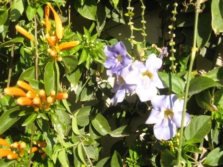 vertical-wall-close-up-of-juanulloa-and-thunbergia-resized