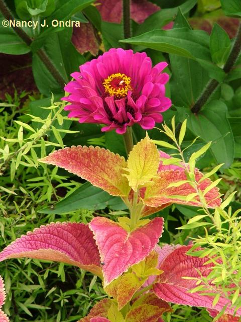 zinnia-purple-prince-coleus-bellingrath-pink-aug-12-08