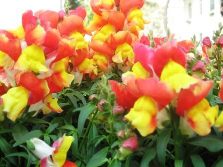 2-tone-colored-snapdragons-red-and-yellow-revised1