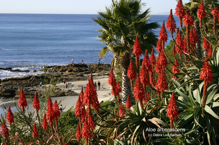 aloe_arborescens