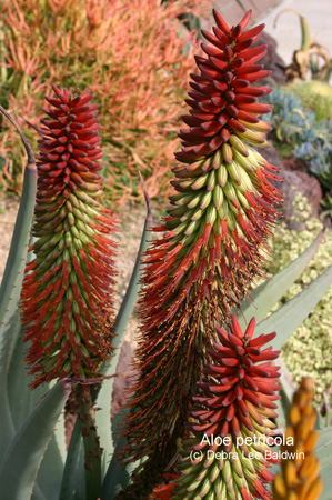 aloe_petricola